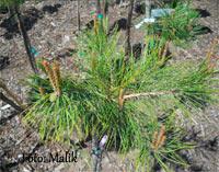 Pinus densiflora 'Glitzer's Weeping'