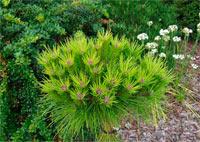 Pinus densiflora 'Meylan Compact'