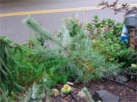 Pinus densiflora 'Robinson's Bonsai'