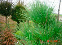Pinus densiflora 'Tiga'