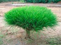 Pinus densiflora 'Umbraculifera Compacta'