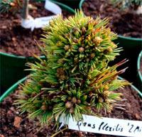 Pinus flexilis '2 Mile Hi'
