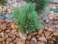 Pinus flexilis 'Antero'