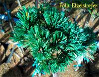 Pinus flexilis 'Aztec'
