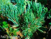Pinus flexilis 'Beefi'