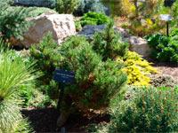 Pinus flexilis 'Blackfoot'