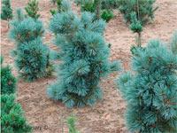 Pinus flexilis 'Cesarini Blue'