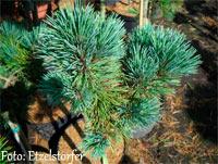 Pinus flexilis 'Cherokee'