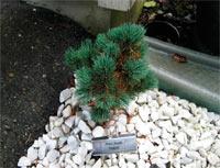 Pinus flexilis 'Dakota'