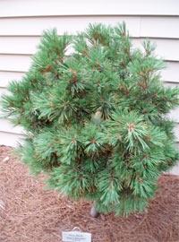 Pinus flexilis 'Dean's Mountain'