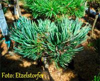 Pinus flexilis 'Dennis'