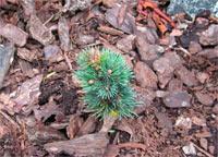 Pinus flexilis 'Elton'