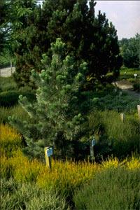 Pinus flexilis 'Firmament'