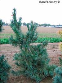 Pinus flexilis 'Glauca Pendula'