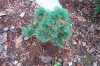 Pinus flexilis 'Good Pine'