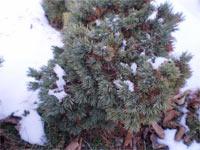 Pinus flexilis 'Granby'
