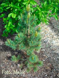 Pinus flexilis 'Grove Nr3'