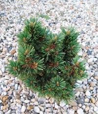 Pinus flexilis 'Hyland'