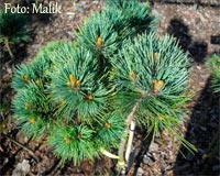 Pinus flexilis 'Kinzie Rose'