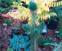 Pinus flexilis 'Laj'