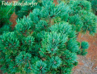 Pinus flexilis 'Losee'
