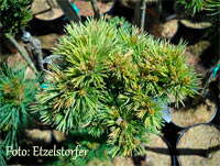 Pinus flexilis 'Markay'