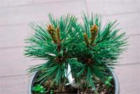 Pinus flexilis 'Nevajo'