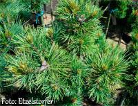 Pinus flexilis 'Old Timmer'