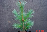 Pinus flexilis 'Persberks'
