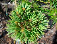Pinus flexilis 'Pondensis Iowa'