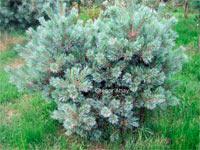 Pinus flexilis 'Pygmaea'