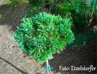 Pinus flexilis 'Ron D Broom'