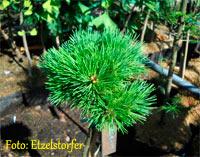 Pinus flexilis 'SDL BF Nr1'