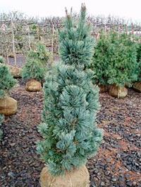 Pinus flexilis 'Select'