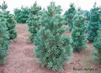 Pinus flexilis 'Shadow Lake'