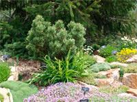 Pinus flexilis 'Smile'