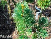 Pinus flexilis 'Snowy'