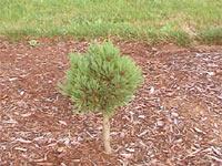 Pinus flexilis 'Tara mae'