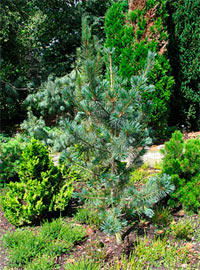 Pinus flexilis 'Tiny Temple'