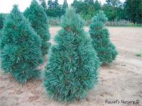 Pinus flexilis 'Vanderwolf Pyramid'