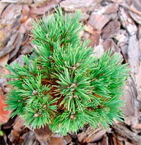 Pinus flexilis 'W.B.'