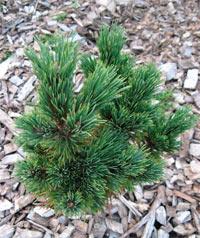 Pinus flexilis 'Wigwam'