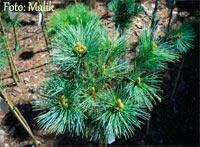 Pinus flexilis 'Woodland'