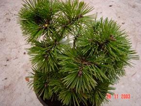 Pinus mugo little lady хвойные деревья и