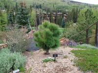 Pinus (ponderosa) 'Doo Dad'