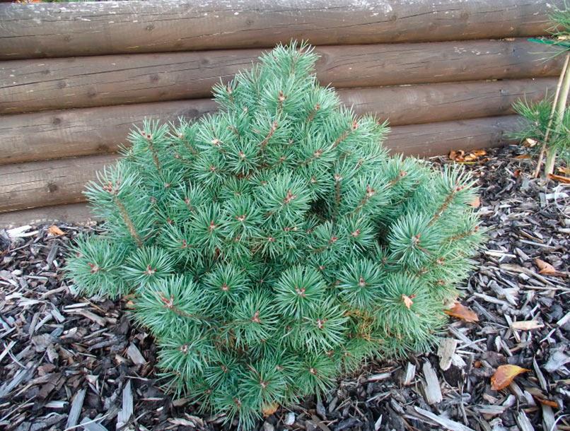 http://pinuslibrary.ru/img/Pinus/Pinus-sylvestris-Nisbets-Gem.jpg