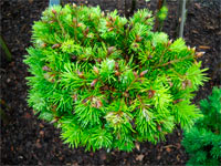 Pseudotsuga menziesii 'Brooks Broom'