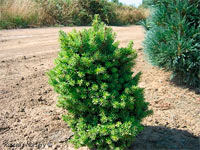 Pseudotsuga menziesii 'Powell Valley' (syn. 'Powell Dhone')