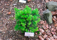 Pseudotsuga menziesii 'Tingle'