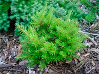 Pseudotsuga menziesii 'Trunky Broom'